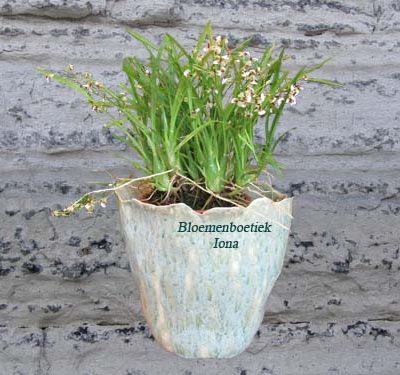 Vanille orchidee met pot/bloemenboetiek Iona