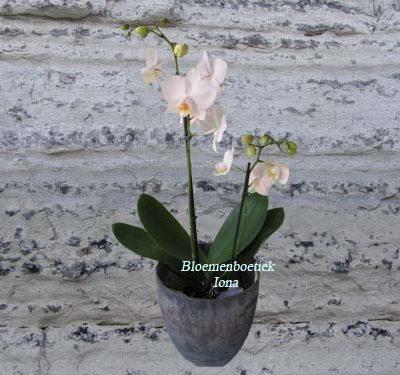 Orchidee met pot/Bloemenboetiek Iona